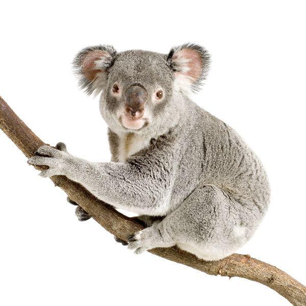 Dessins En Couleurs A Imprimer Koala Numero 602444