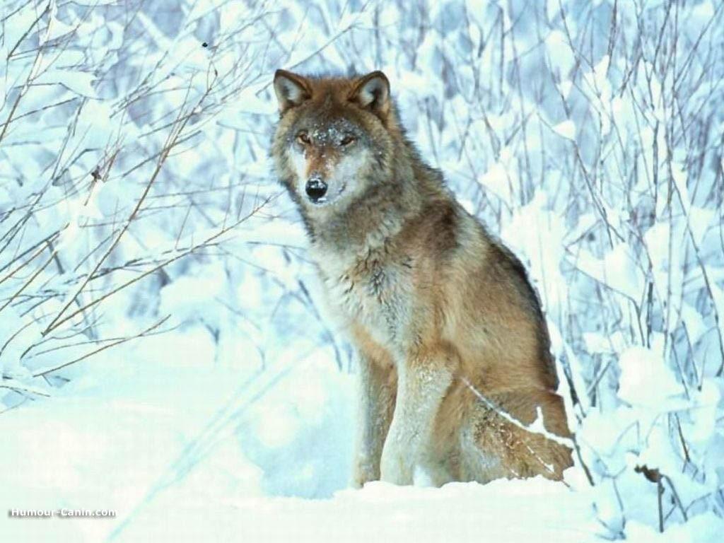 Dessins en couleurs à imprimer : Loup, numéro : 20584