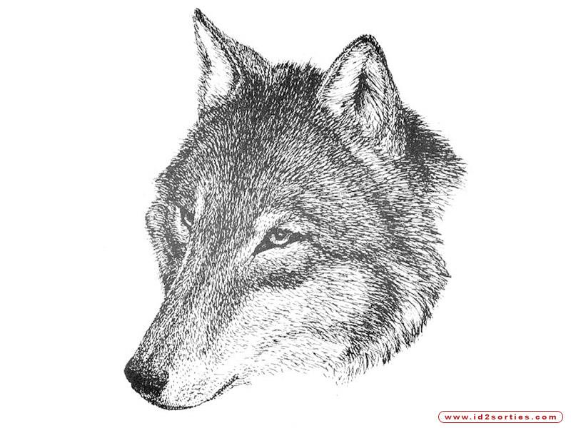 Coloriages à imprimer : Loup, numéro : 439797