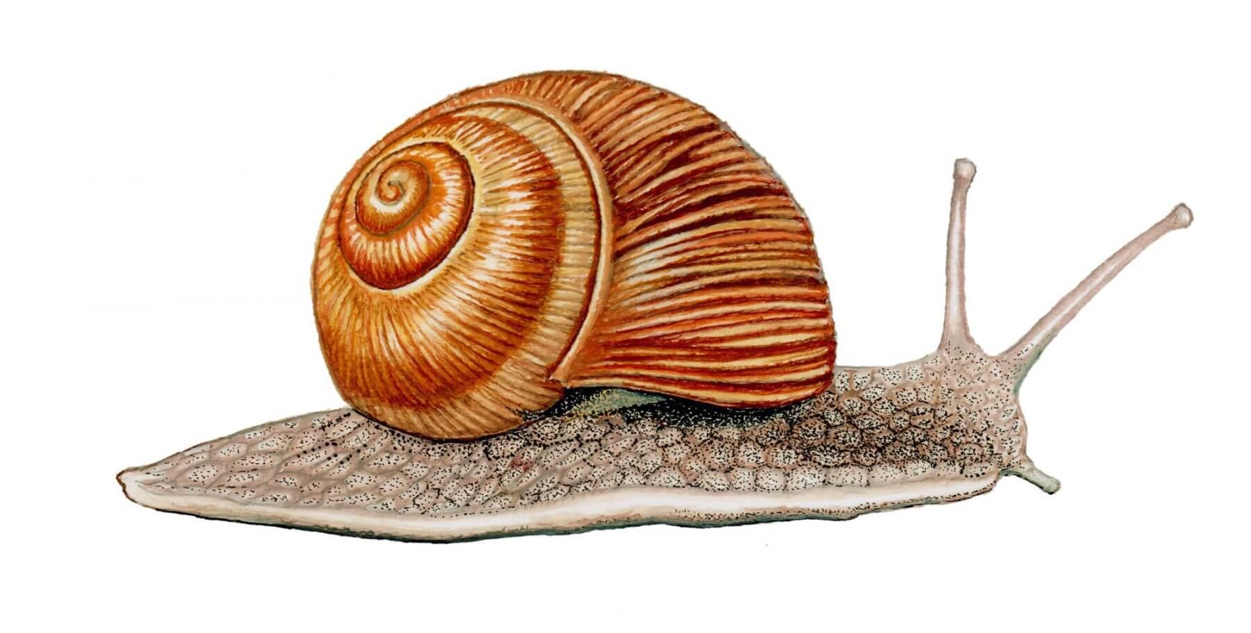 Dessins en couleurs à imprimer : Escargot, numéro : 2a64c3ce