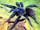 Imprimer le dessin en couleurs : Arachnides, numéro 25008