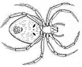 Imprimer le coloriage : Araignée, numéro 130423
