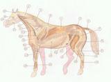 Imprimer le dessin en couleurs : Cheval, numéro 136821