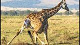 Imprimer le dessin en couleurs : Girafe, numéro 23e01e86