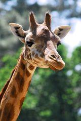 Imprimer le dessin en couleurs : Girafe, numéro 41e01678