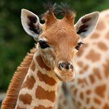 Imprimer le dessin en couleurs : Girafe, numéro 77522a8f