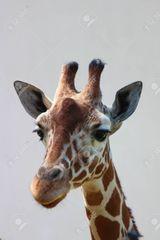 Imprimer le dessin en couleurs : Girafe, numéro 961b1e76