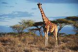Imprimer le dessin en couleurs : Girafe, numéro d9c8e44d