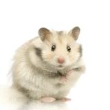Imprimer le dessin en couleurs : Hamster, numéro 117851