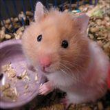 Imprimer le dessin en couleurs : Hamster, numéro 508411