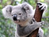 Imprimer le dessin en couleurs : Koala, numéro 3132961b
