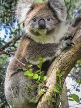 Imprimer le dessin en couleurs : Koala, numéro 3c0d1bf0