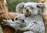 Imprimer le dessin en couleurs : Koala, numéro 43d64a02
