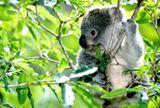 Imprimer le dessin en couleurs : Koala, numéro 602435