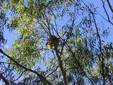 Imprimer le dessin en couleurs : Koala, numéro 615999