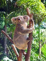 Imprimer le dessin en couleurs : Koala, numéro 629671