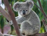 Imprimer le dessin en couleurs : Koala, numéro 66d1099d