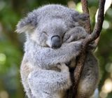 Imprimer le dessin en couleurs : Koala, numéro 689816