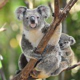 Imprimer le dessin en couleurs : Koala, numéro 689826
