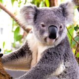 Imprimer le dessin en couleurs : Koala, numéro 689827