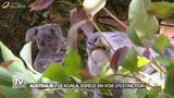 Imprimer le dessin en couleurs : Koala, numéro a15247c2