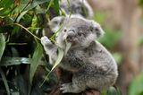 Imprimer le dessin en couleurs : Koala, numéro c9eb629e