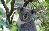 Imprimer le dessin en couleurs : Koala, numéro d5a6fb88