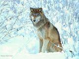 Imprimer le dessin en couleurs : Loup, numéro 117387