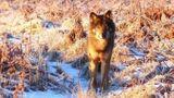 Imprimer le dessin en couleurs : Loup, numéro 126d25f7