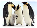 Imprimer le dessin en couleurs : Pinguoin, numéro 683108