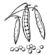 Imprimer le coloriage : Légumes, numéro 13503